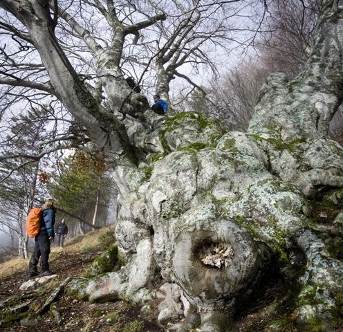 Matusalemme, l'albero più antico d'Abruzzo